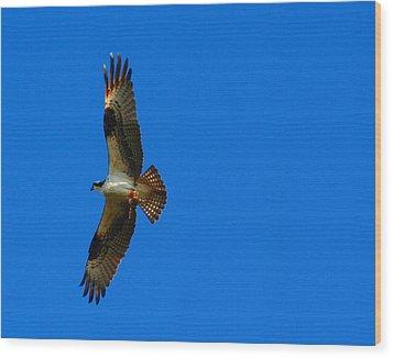 Fishhawk In Flight Wood Print by April Wietrecki Green