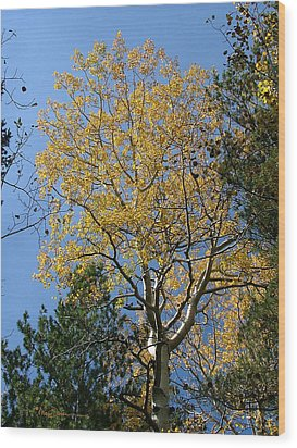 Flagstaff Aspens 784 Wood Print