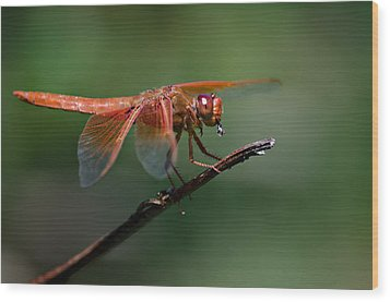 Flame Skimmer Dragonfly Wood Print