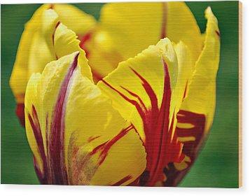 Flame Tulip Wood Print