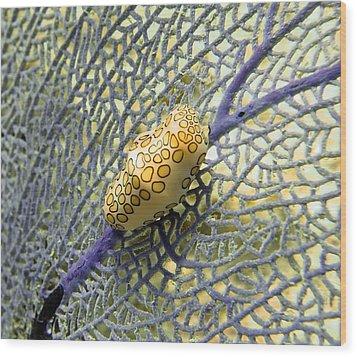 Flamingo Tongue Snail On Purple Fan Coral Wood Print
