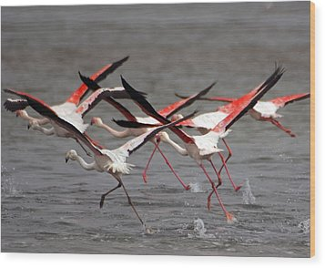 Wood Print featuring the photograph Flamingoes In Flight by Dennis Cox WorldViews