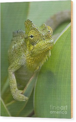 Wood Print featuring the photograph Flap-necked Chameleon by Chris Scroggins