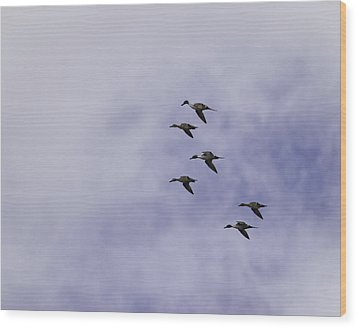 Flight Of The Pintails 1 Wood Print by Thomas Young