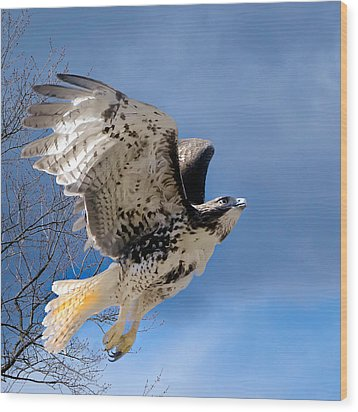 Flight Of The Red Tail Square Wood Print by Bill Wakeley