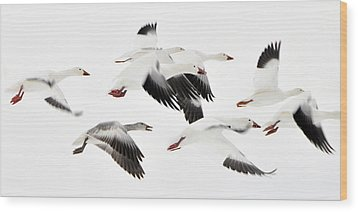 Flight Of The Snow Geese Wood Print by Dan Myers