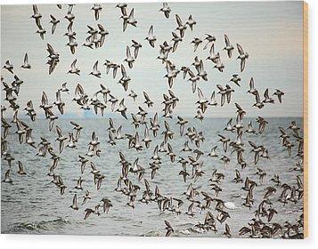 Flock Of Dunlin Wood Print by Karol Livote