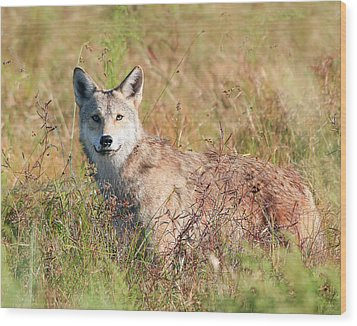 Florida Coyote In A Field Wood Print