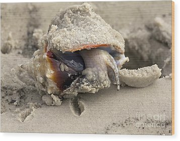 Wood Print featuring the photograph Florida Fighting Conch by Meg Rousher