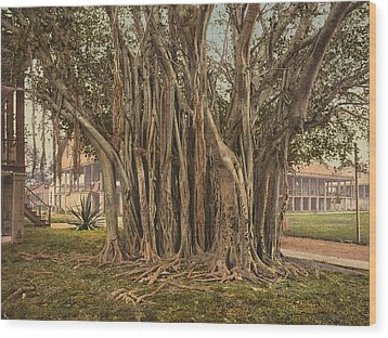 Florida Rubber Tree, C1900 Wood Print by Granger