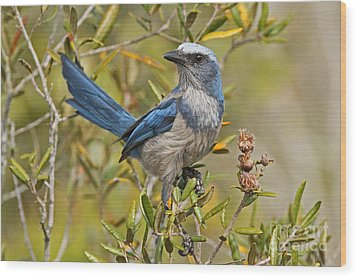 Florida Scrub Jay Wood Print by Jennifer Zelik