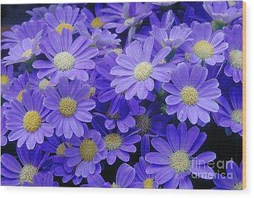 Florists Cineraria Hybrid Wood Print by Geoff Bryant
