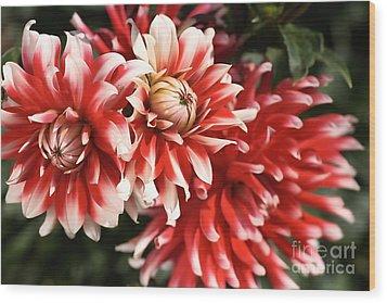 Flower-dahlia-red-white-trio Wood Print by Joy Watson