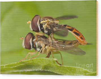 Flower Flies Mating Wood Print by Clarence Holmes