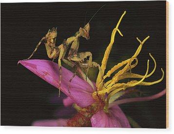 Flower Mantis Nymph Wood Print by Mark Moffett