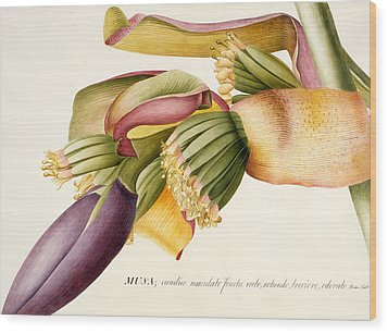 Flower Of The Banana Tree  Wood Print by Georg Dionysius Ehret