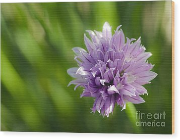 Flowering Chive Wood Print by Dee Cresswell