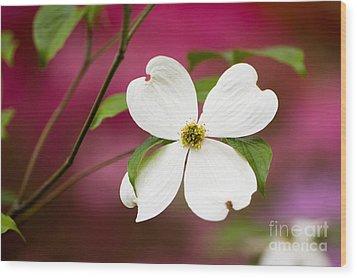 Flowering Dogwood Blossoms Wood Print by Oscar Gutierrez