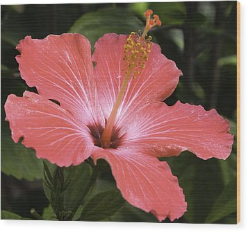 Flowering Hibiscus Wood Print by John Holloway