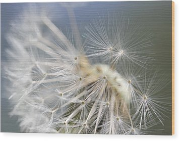 Fly Away Dandelion Seeds  Wood Print by Jennie Marie Schell