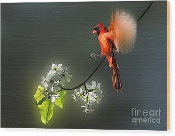 Flying Cardinal Landing On Branch Wood Print by Dan Friend