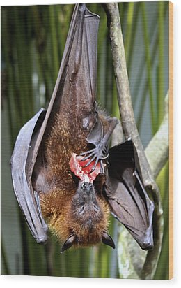Flying Fox Or Fuit Bat Wood Print by Venetia Featherstone-Witty