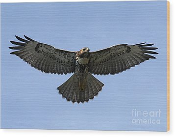 Flying Free - Red-tailed Hawk Wood Print