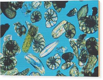 Foraminifera Protists Wood Print by Christian Gautier