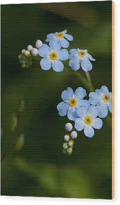 Forget-me-not Cascade Wood Print