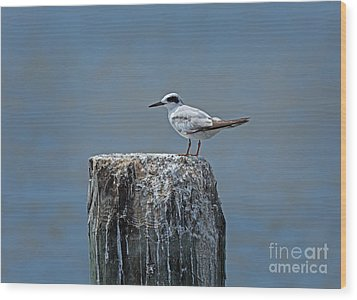 Forster's Tern Wood Print by Louise Heusinkveld