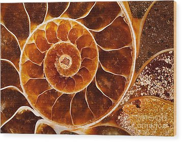 Fossil Nautilus Wood Print by Alice Cahill