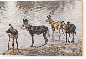 Wood Print featuring the photograph Four Alert African Wild Dogs by Liz Leyden