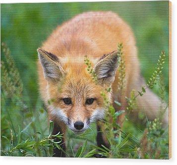 Fox Kit Hiding In The Grass Wood Print by Merle Ann Loman