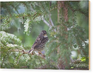 Fox Sparrow Juvenile Wood Print by Chris Heitstuman