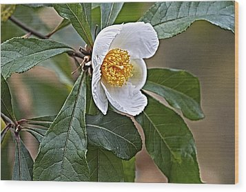 Franklinia Blossom  Wood Print by Constantine Gregory