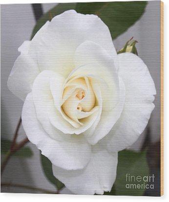 Fresh White Rosebud Wood Print by French Toast