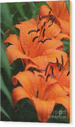 Freshly Showered Tiger Lilys Wood Print