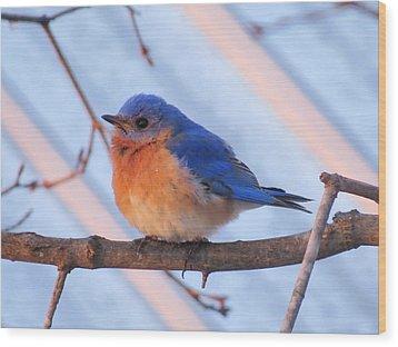 Friendly Bluebird Wood Print by David Lankton