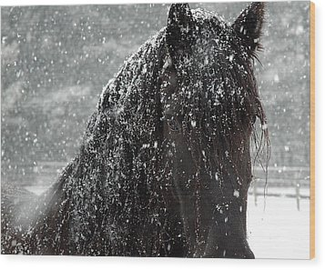 Friesian Snow Wood Print by Fran J Scott