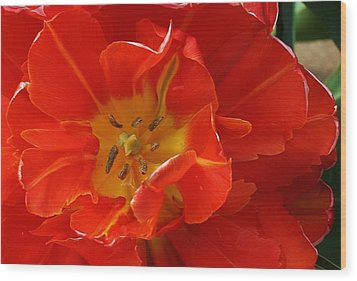 Frilly Tulip Wood Print by Bruce Bley