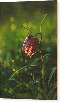 Fritillaria Meleagris Wood Print by Davorin Mance