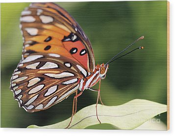 Fritillary Butterfly Wood Print by Pamela Gail Torres