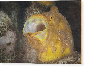 Frogfish Wood Print