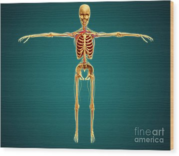Front View Of Human Skeleton Wood Print by Stocktrek Images