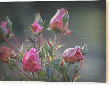 Frost Kissed Roses Wood Print by Katie Wing Vigil