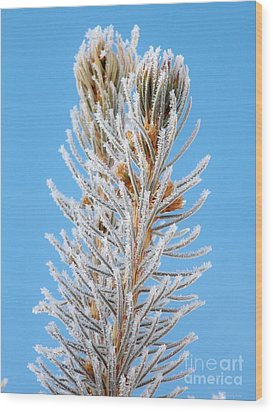 Frosted Blue Spruce Tips Wood Print