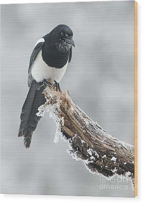 Frosted Magpie Wood Print by Tim Grams
