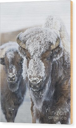 Frosty Bison Wood Print by Deby Dixon