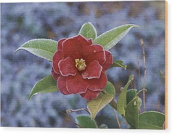 Wood Print featuring the photograph Frosty Camellia by Gregory Scott