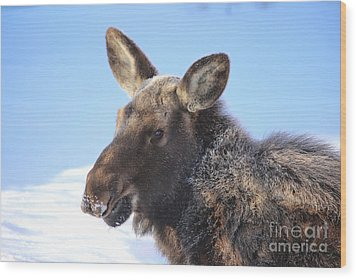 Frosty Moose Wood Print